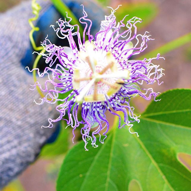 "If passion describes a ""strong and barely controllable emotion"", then this intricately designed plant ally bears some resemblance, albeit with a gentler disposition. It's free flowing, resilient, strong, beautiful, flowering, twisty, healing, grounding and did I say beautiful already? I have made the most soul soothing tonics with it for anxiety and sleepless nights, as well as skin nourishing elixirs. Though none of these  hand crafted potions match the healing powers (healthy) love can deliver, adding a wee bit of these plant based goodness into your internal and external diet can take things up a notch or two.I find plants, like dogs (frankly all animals) to be free from emotional baggage and unnecessary clutter that comes with being a human, hence a touch from one, sinks deeply into my soft and raw core. This is why we call it plant magic folks. May we all find passion, love, peace, inner balance, healing and a good herbalist who can brew a tonic or two filled with plant magic!"
